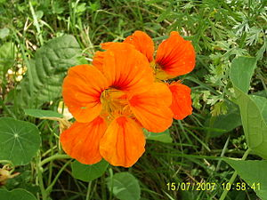 English: Flower of a nasturtium