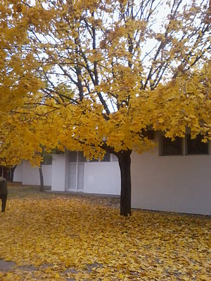 English: Tree with yellow leaves in autumn