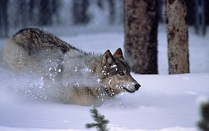 Yellowstone wolf running in snow in Crystal Cr...
