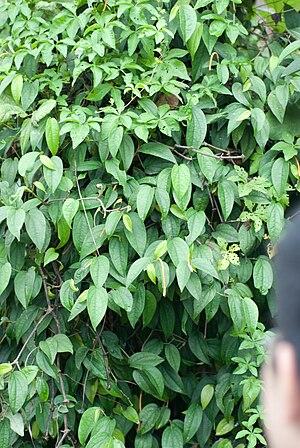English: Piper kadsura – Japanese Pepper, f?t?...