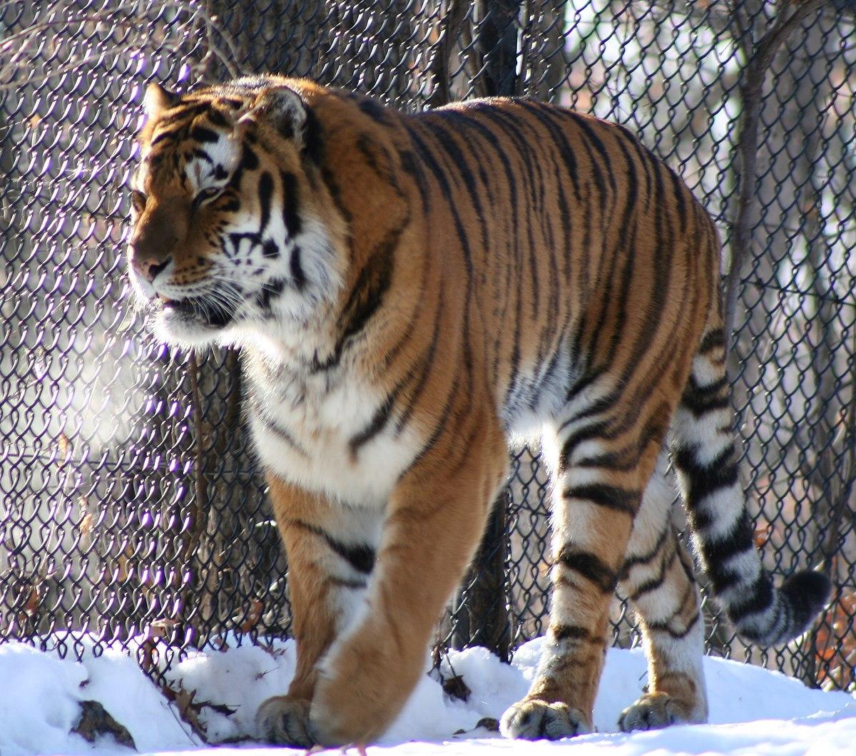 White Tiger Wallpaper Hd 1080p Minnesota Zoo Wikipedia