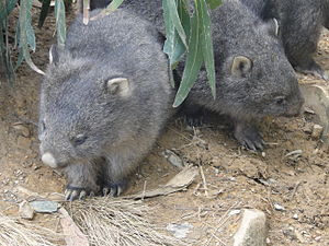 English: Baby wombats at Mole Creek, Tasmania,...