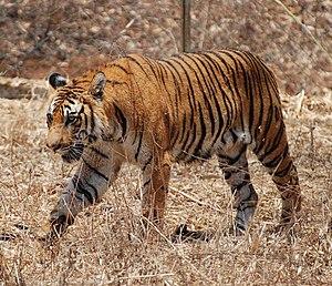 English: Bengal Tiger in Karnataka, India