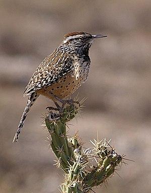 Campylorhynchus brunneicapillus (Cactus Wren),...