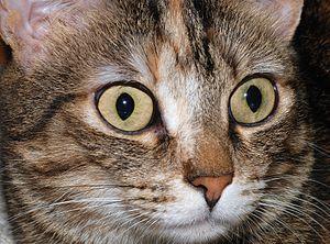 Detail on the head of a tabby she-cat (Felis s...