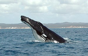 Humpback near Hervey Bay, Queensland