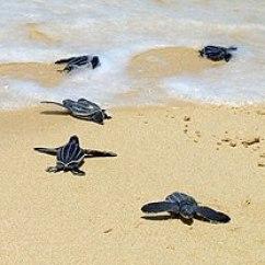 Leatherback Sea Turtle Food Web Diagram 1996 Honda Civic Alternator Wiring Wikipedia Hatchlings Crawling To The