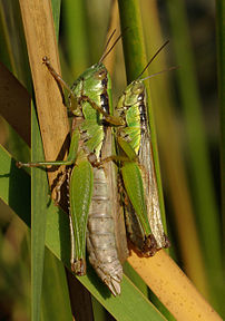 Locust. This picture was taken at Osaka, Japan.