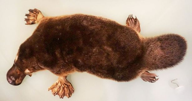 National Museum of Australia - Joy of Museums - Platypus