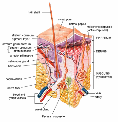 integumentary system diagram labeled 95 s10 brake light wiring human physiology wikibooks open books for an of the layers skin