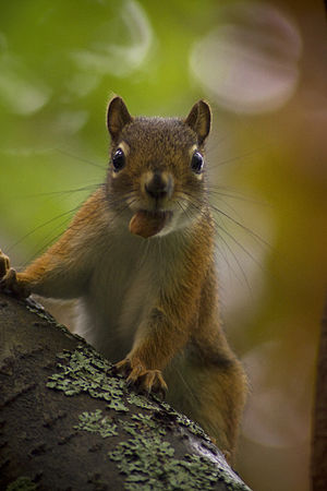 Tree squirrel.