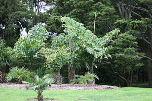 Four young specimens of Caryota obtusa, Auckla...