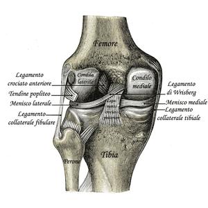 Italiano: Legamenti del ginocchio sinistro da ...