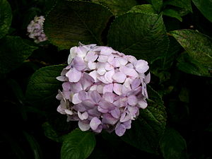 English: Hydrangea (Hortensia) flowers at the ...