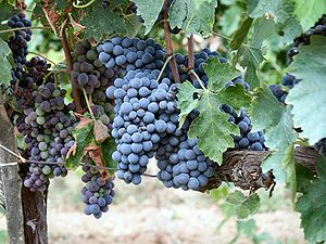 Sangiovese grapes in a vineyard of Montalcino,...