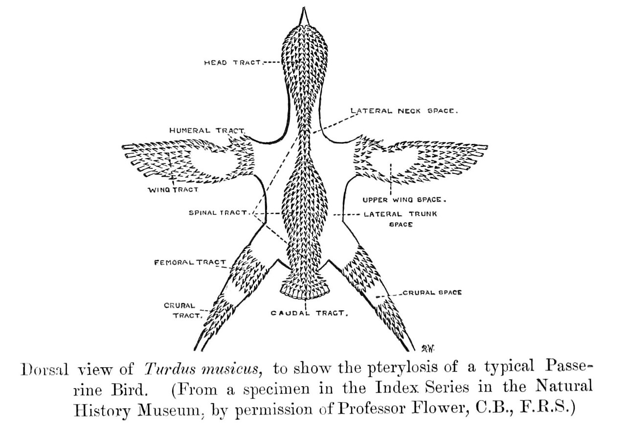 diagram types of feathers 1968 firebird wiring file passerinepterylosis jpg wikimedia commons
