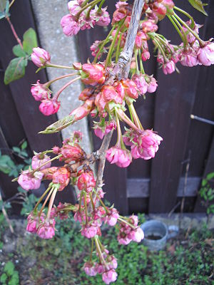 Prunus serrulata, april 2005