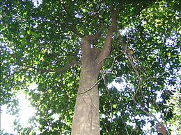 Pokok Kulim  Wikipedia Bahasa Melayu ensiklopedia bebas