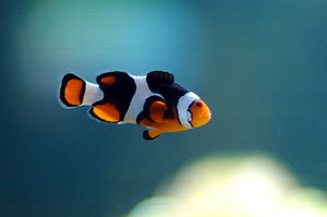 A photo of a clown fish swimming, released und...