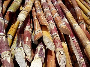 Venezuelan sugar cane (Saccharum) harvested fo...