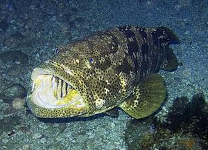 Epinephelus malabaricus