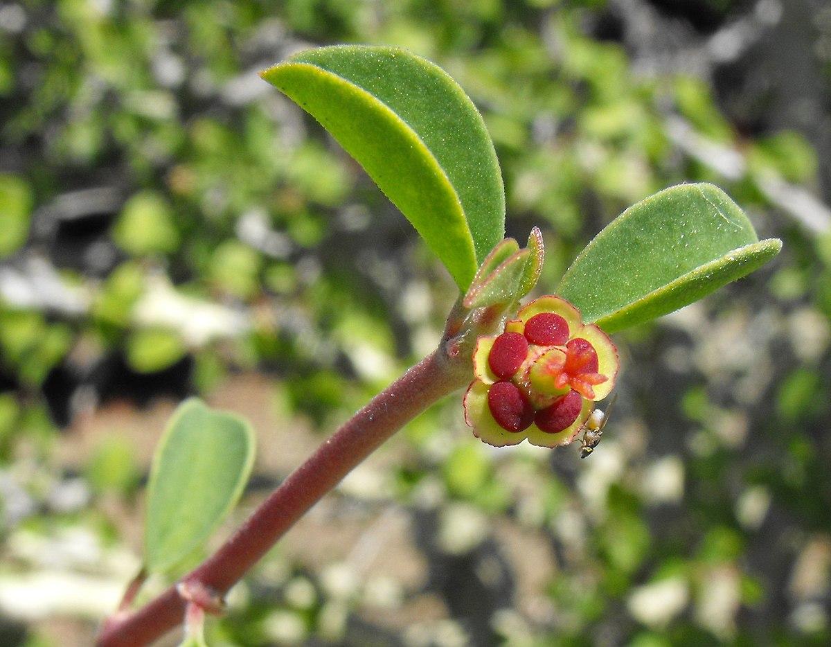 Euphorbia misera  Wikipedia