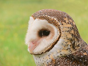 A Masked owl Tyto novaehollandiae , taken at a...