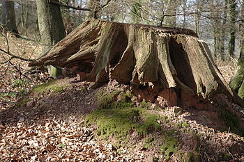 English: Old tree stump, Beaulieu Wood The rem...