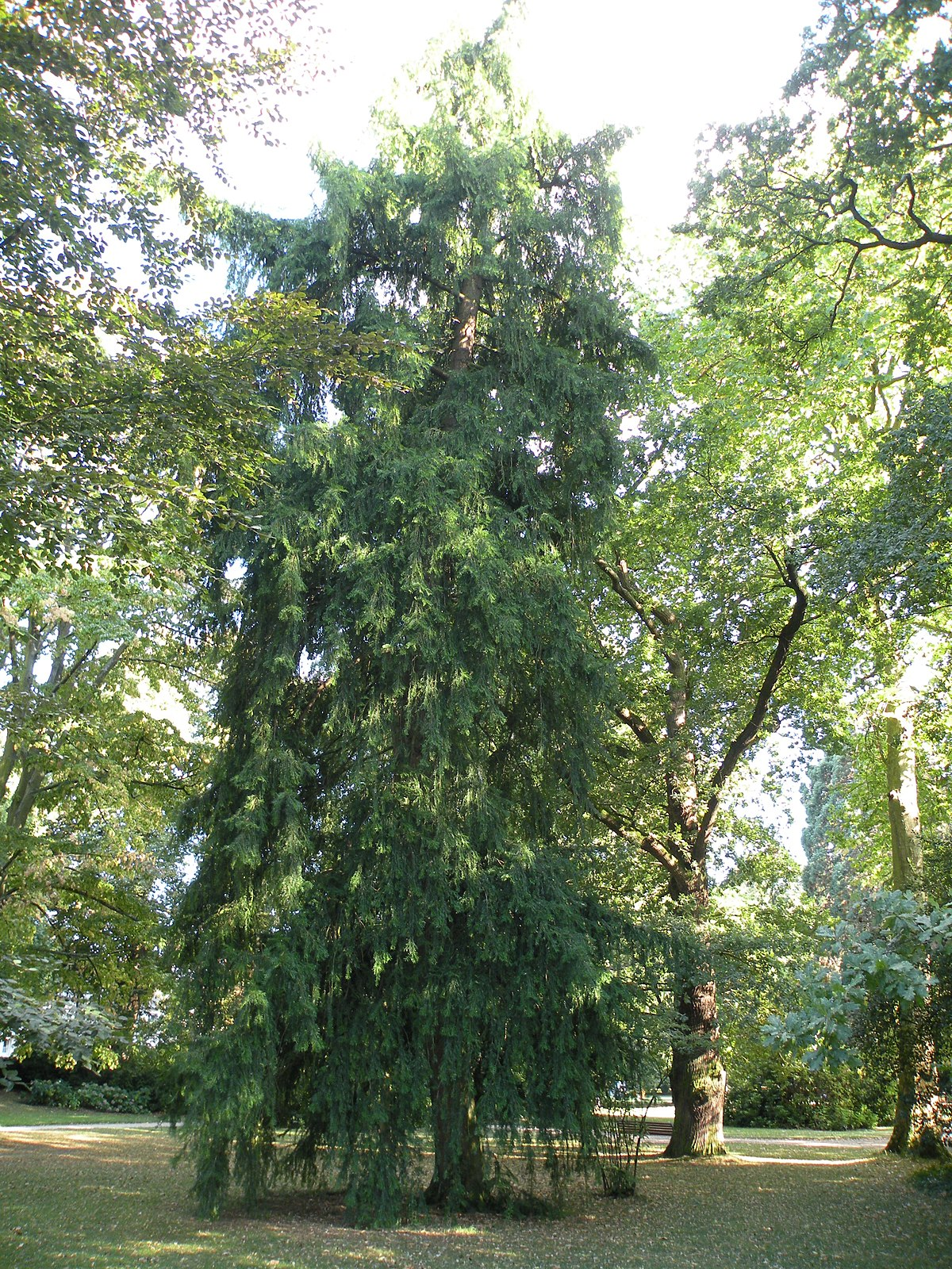 Torreya californica  Wikipedia