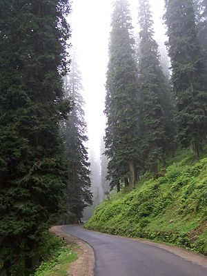 Tall Abies pindrow trees and fog on a little r...