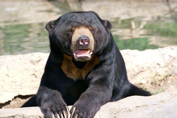 Beruang Madu