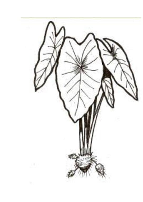 Xanthosoma