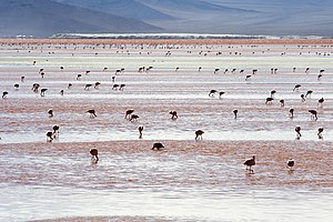 English: Andean Flamingos (Phoenicopterus andi...