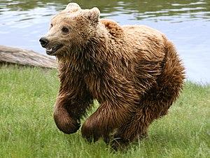 Brown bear (Ursus arctos arctos) running. From...