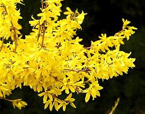 English: Forsythia flower