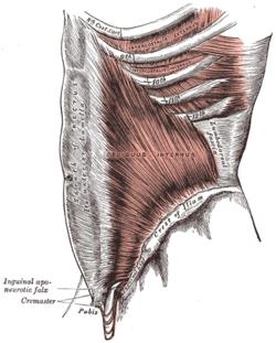 Abdominal internal oblique muscle - Wikipedia