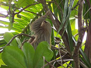 Hoffmann's two-toed sloth in Manual Antonio, C...