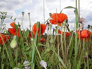English: Poppies.