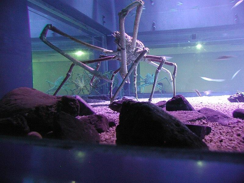 File:Spider crab at the Kaiyukan in Osaka, Japan.JPG