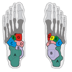 human foot skeleton diagram labeled franklin electric submersible motor control wiring tarso (pé) – wikipédia, a enciclopédia livre