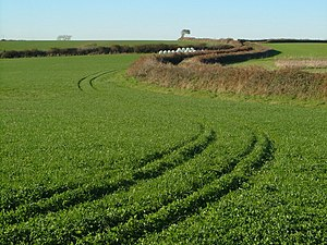 English: Trefoil crop in South Hams. Tramlines...
