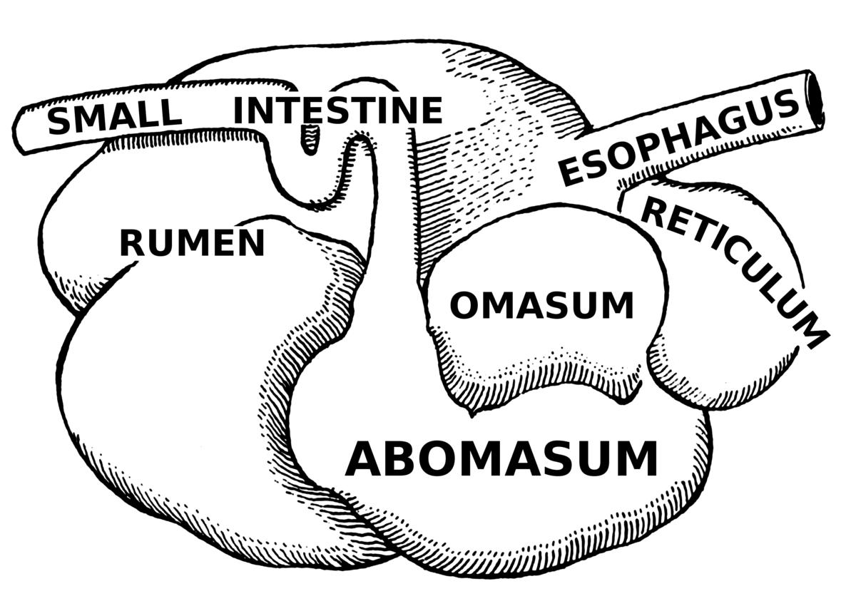 swallowing food diagram chrysler 300 wiring ruminant wikipedia