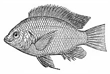 labelled diagram of a tilapia fish understanding electricity and wiring diagrams for hvac r wikipedia nile oreochromis niloticus
