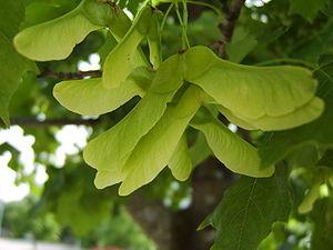 Norway Maple tree seeds.