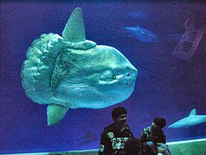 Huge ocean sunfish (Mola mola) at Outer Bay ex...