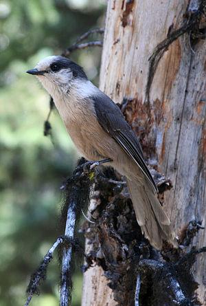 Gray Jay Perisoreus canadensis. Moose Loop wal...