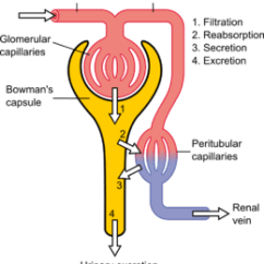 Kidney Nephron Structure Diagram Chrysler 1 Wire Alternator Wiring Wikipedia Fig Schematic Of The Yellow Relevant Circulation Red Blue And Four Methods Altering Filtrate