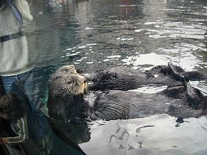 Sea Otter at Monterey Bay Aquarium, California.