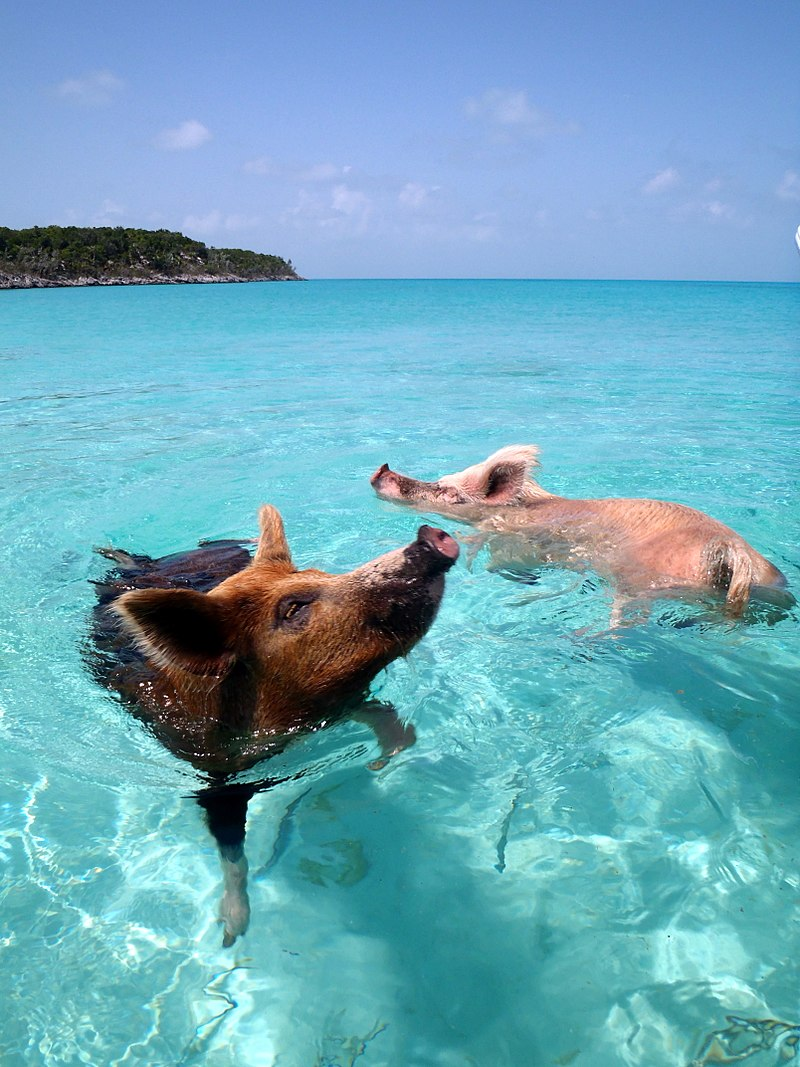 Top 10 Strangest Things in the World: Big Major Cay, the curious Pig Beach