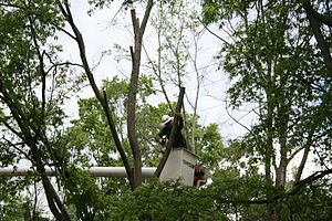 English: An arborist sawing off a tree branch ...